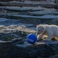 Berlin-born polar bear cub named Hertha after local football club