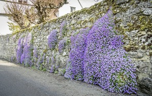 The Casual Gardener: Aubretia a vigorous plant that embodies spring's floral cascade