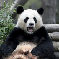 Berlin zoo brings pandas together in hope of romance