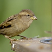 House sparrow remains most spotted bird in Northern Ireland gardens