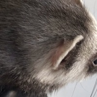 RSPCA saves ferret from crow attack on roof