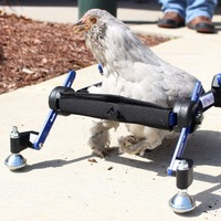 Disabled chicken gets custom-made wheelchair after weasel attack