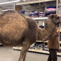 Unusual animal in the bagging area as camel visits pet shop