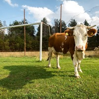 Football fans encouraged to take farmyard animals to game