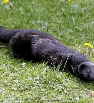 Danes to dig up four million mink culled over coronavirus to prevent water pollution