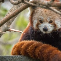 Red panda finds a mate thanks to 'zoological dating agency'