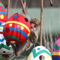 Safari park monkeys enjoy treat-filled Easter eggs