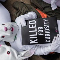 Rabbits suffering in 'secretive' experiments at universities, campaigners claim