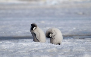 Concerns raised over Antarctic emperor penguin breeding ground