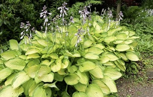 Casual Gardener: Say 'hello' to the hostas