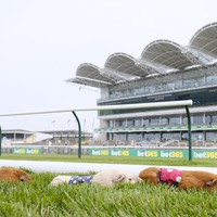 Video: Guinea pigs take to the turf to race at Newmarket