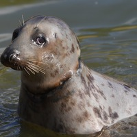 Seal injured by frisbee round neck released back into sea