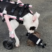 Injured tortoise gets custom wheelchair just like his dog pal