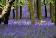 The Casual gardener: Spring's bluebell bounty under threat from Spanish interloper
