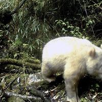 Rare all-white panda caught on camera in China