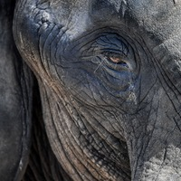 African elephant poaching rates declining, analysis suggests