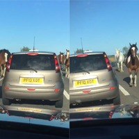 Watch: Escaped horses bring busy A-road to standstill in Norfolk