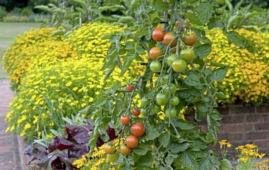 Marigolds In Garden Companion Planting