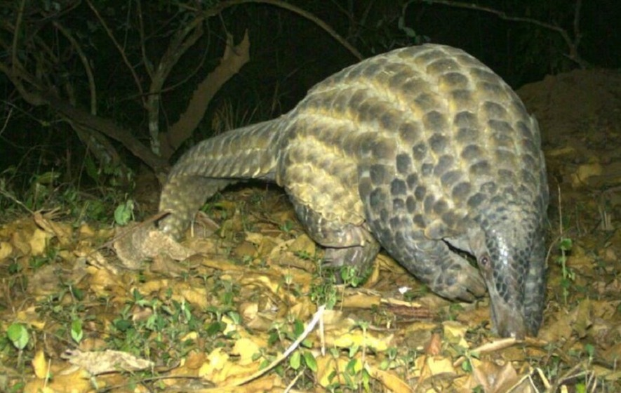 Wildlife Experts From Chester Zoo Fit Rare Giant Pangolin With