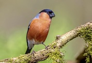 Take on Nature: Secretive bullfinch is 'fairest of all wildborn birds'