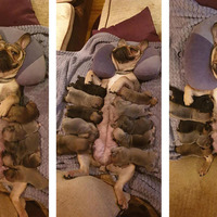 Meet Lola the French Bulldog and her 10 pups