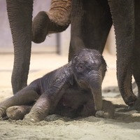 Newborn elephant takes wobbly first steps at zoo