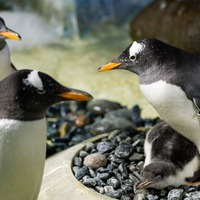 'Notoriously difficult to breed' species of penguin hatched in Birmingham
