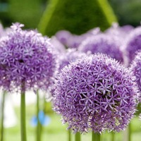 The Casual Gardener: Know your ornamental onions
