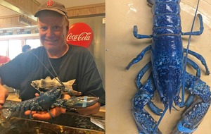 Rare blue lobster discovered in seafood restaurant shipment