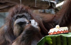 One of the world's oldest captive Borneo orangutans celebrates 50th birthday