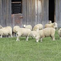 140 sheep perish in County Donegal border farm fire