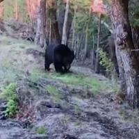 Bear's backrub against tree captured on video