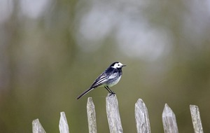 Take on Nature: The tale of the pied wagtail and the nest on the boiler