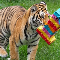 Watch as three tiger cubs at Whipsnade Zoo celebrate their first birthday