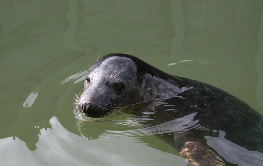 Seals can copy human speech and songs, Scottish study suggests