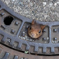 Firefighters rescue squirrel stuck in manhole cover