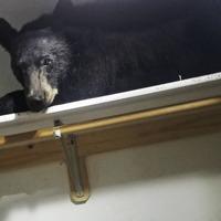 Bear locks itself into US home and sleeps in wardrobe