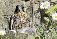 Peregrine falcons being raised in Co Tyrone quarry