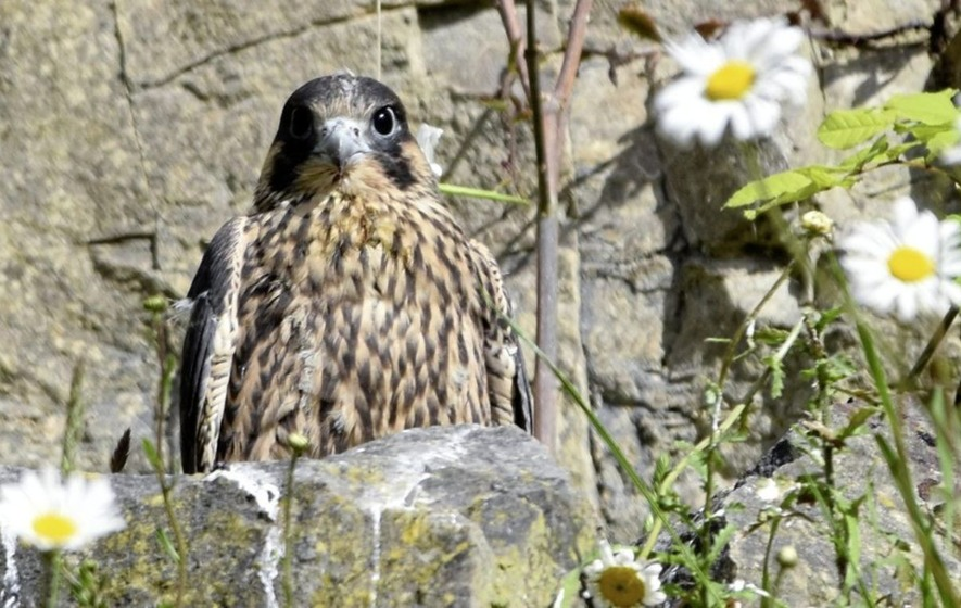 Peregrine falcons being raised in Co Tyrone quarry - The Irish News
