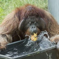 Orangutans fight the heat in Europe as temperatures soar