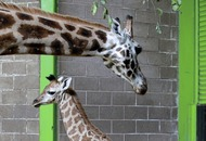 Baby Giraffe to take first steps outside at Belfast Zoo tomorrow