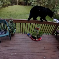 Acrobatic bear navigates garden fence to feast from hummingbird feeder