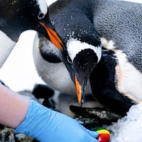 Same-sex penguin couple welcome their first adopted chick at Sea Life London