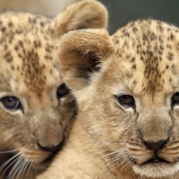Two rare Barbary lion cubs born in Czech zoo