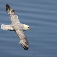 Stephen Colton's Take on Nature: The fulmar is a truly haunting seabird