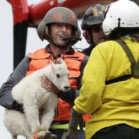 Blindfolded mountain goats flown in slings dangling from helicopters to new home
