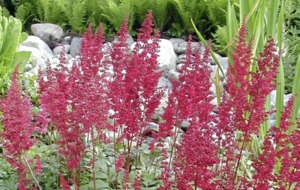 The Casual Gardener: Astilbes are simply sensational