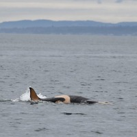 Baby boost for endangered orca population