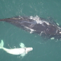 Female southern right whales 'whisper to offspring to avoid detection'