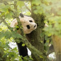 First pictures show panda in new habitat at Edinburgh Zoo